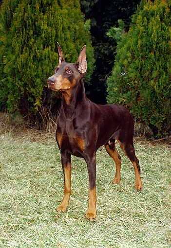 DOG 01 FA0037 01 © Kimball Stock Doberman Pinscher Standing On Grass By Shrubs