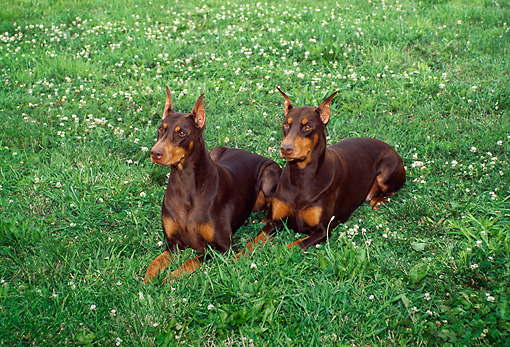 DOG 01 FA0039 01 © Kimball Stock Two Doberman Pinschers Laying On Grass