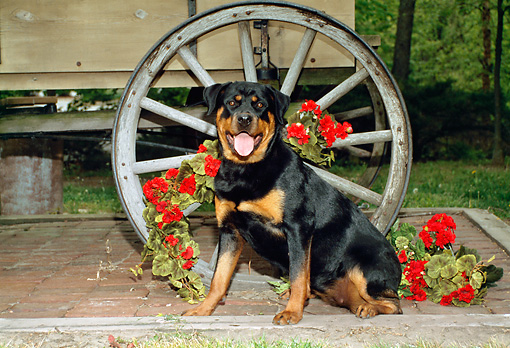 DOG 01 FA0046 01 © Kimball Stock Rottweiller Sitting By Wagon And Red Flowers