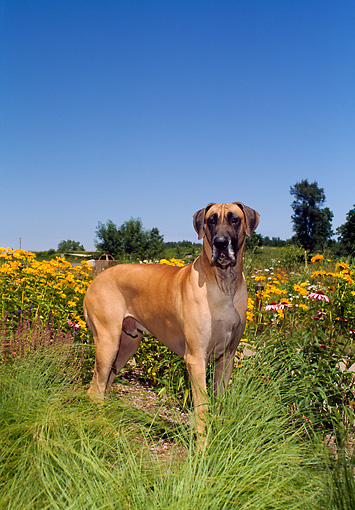 DOG 01 FA0049 01 © Kimball Stock Great Dane Standing In Field By Yellow Flowers