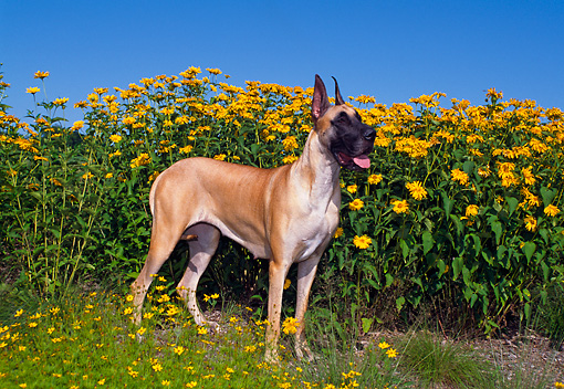 DOG 01 FA0050 01 © Kimball Stock Great Dane Standing In Field By Yellow Flowers