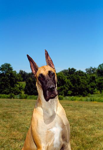 DOG 01 FA0053 01 © Kimball Stock Head Shot Of Great Dane Sitting In Field
