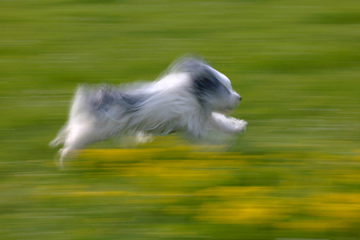DOG 01 KH0002 01 © Kimball Stock Polish Lowland Sheepdog Running Through Field