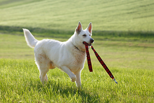 DOG 01 KH0007 01 © Kimball Stock White Swiss Shepherd Running In Field Carrying Leash