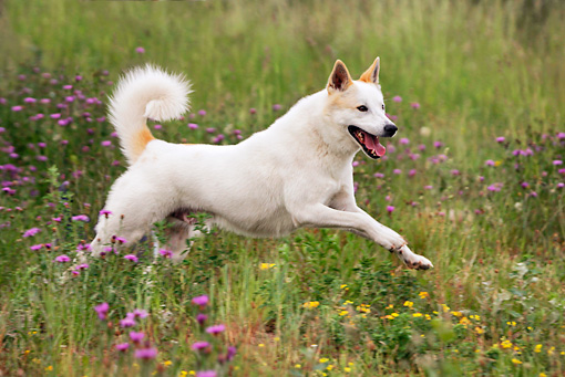 DOG 01 KH0009 01 © Kimball Stock Canaan Dog Running In Field Of Purple And Yellow Flowers