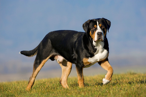 DOG 01 KH0017 01 © Kimball Stock Greater Swiss Mountain Dog Standing On Grass With Paw Raised
