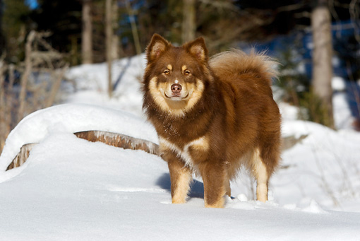 DOG 01 KH0024 01 © Kimball Stock Finnish Lapphund Standing In Snow By Woods