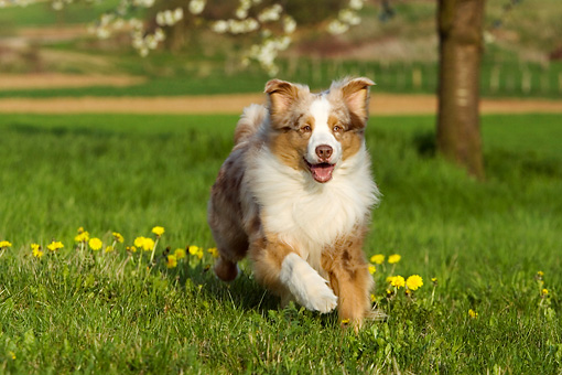 DOG 01 KH0029 01 © Kimball Stock Australian Shepherd Running In Field By Tree