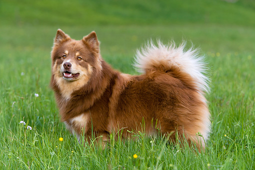 DOG 01 KH0037 01 © Kimball Stock Finnish Lapphund Standing In Field