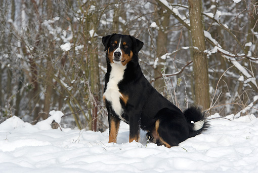 DOG 01 KH0057 01 © Kimball Stock Appenzell Mountain Dog Sitting In Snow By Woods