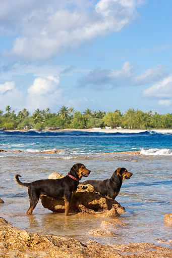 DOG 01 KH0077 01 © Kimball Stock French Polynesian Fishing Dogs Wading In Ocean By Rock