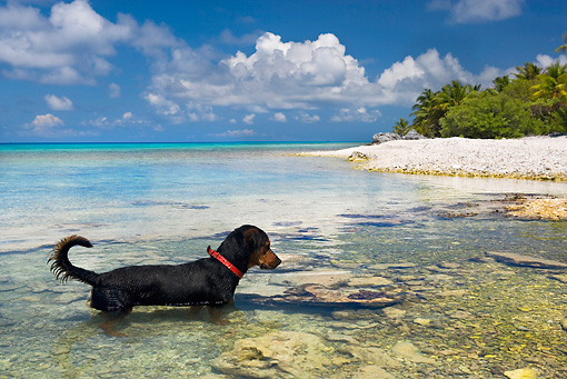 DOG 01 KH0079 01 © Kimball Stock French Polynesian Fishing Dog Wading In Ocean