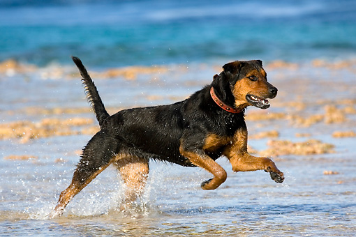 DOG 01 KH0084 01 © Kimball Stock French Polynesian Fishing Dog Running In Water On Beach