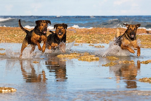DOG 01 KH0086 01 © Kimball Stock French Polynesian Fishing Dogs Running In Water On Beach