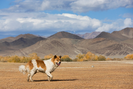 DOG 01 KH0092 01 © Kimball Stock Mongolian Shepherd Dog Running In Field By Mountains