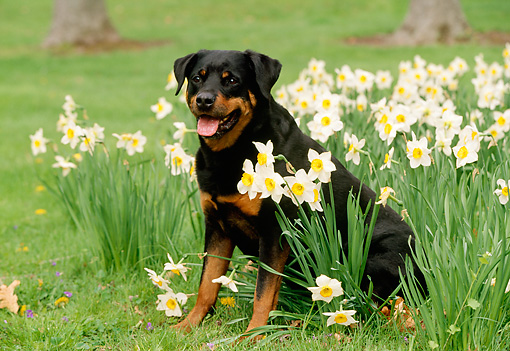 DOG 01 LS0021 01 © Kimball Stock Rottweiler Sitting On Grass By Daffodils