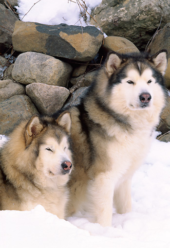 DOG 01 LS0031 01 © Kimball Stock Two Alaskan Malamutes Sitting On Snow By Stone Wall