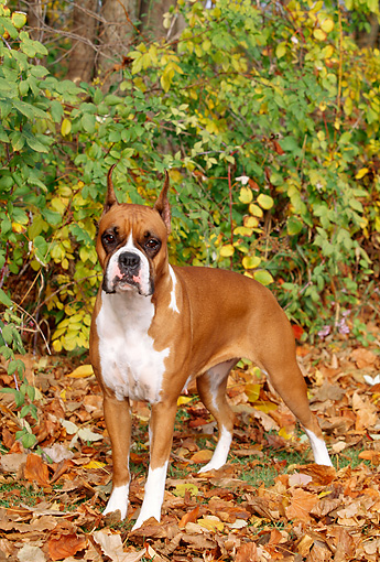 DOG 01 LS0035 01 © Kimball Stock Boxer Standing On Autumn Leaves In Woods