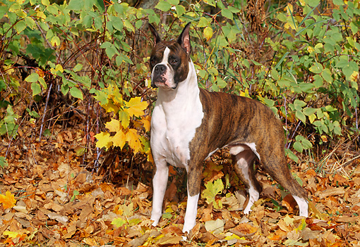 DOG 01 LS0036 01 © Kimball Stock Boxer Standing On Autumn Leaves In Woods
