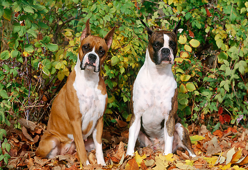 DOG 01 LS0037 01 © Kimball Stock Boxers Sitting On Autumn Leaves In Woods
