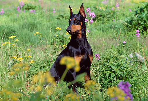 DOG 01 LS0043 01 © Kimball Stock Doberman Pinscher Sitting In Field By Yellow And Purple Flowers