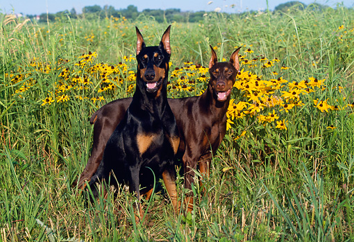 DOG 01 LS0048 01 © Kimball Stock Doberman Pinscher Sitting And Standing In Field Of Yellow Flowers