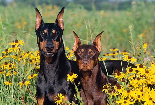 DOG 01 LS0049 01 © Kimball Stock Doberman Pinscher Sitting And Standing In Field Of Yellow Flowers