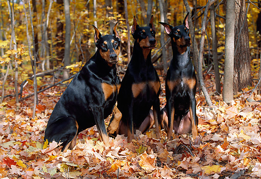 DOG 01 LS0052 01 © Kimball Stock Three Doberman Pinschers Sitting In Fallen Leaves In Woods