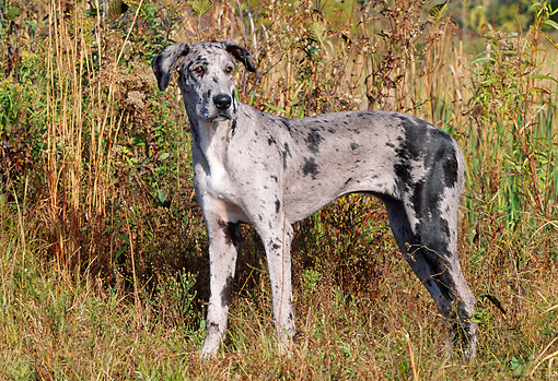 DOG 01 LS0055 01 © Kimball Stock Great Dane Standing In Field