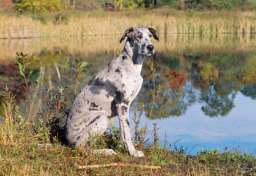DOG 01 LS0056 01 © Kimball Stock Great Dane Sitting In Field By Pond