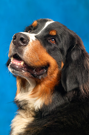 DOG 01 MQ0001 01 © Kimball Stock Portrait Head Shot Of Bernese Mountain Dog Blue Background