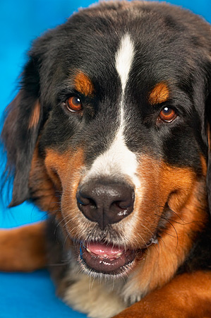 DOG 01 MQ0002 01 © Kimball Stock Portrait Head Shot Of Bernese Mountain Dog Blue Background