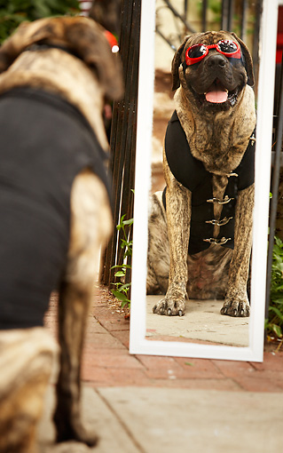 DOG 01 MQ0010 01 © Kimball Stock Humorous Bullmastiff Wearing Sunglasses And Vest Looking At Reflection In Mirror
