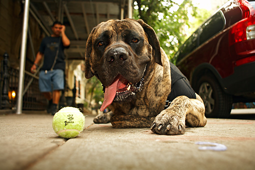DOG 01 MQ0014 01 © Kimball Stock Humorous Bullmastiff Wearing Vest Laying On Driveway By Tennis Ball