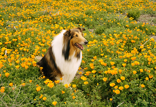 DOG 01 RC0001 01 © Kimball Stock Collie Sitting In Field Of Yellow Flowers