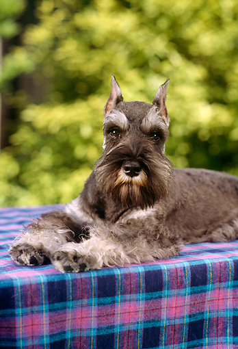 DOG 01 RC0002 01 © Kimball Stock Portrait Of Salt-And-Pepper Schnauzer Laying On Blue And Pink Plaid Blanket Foliage Background