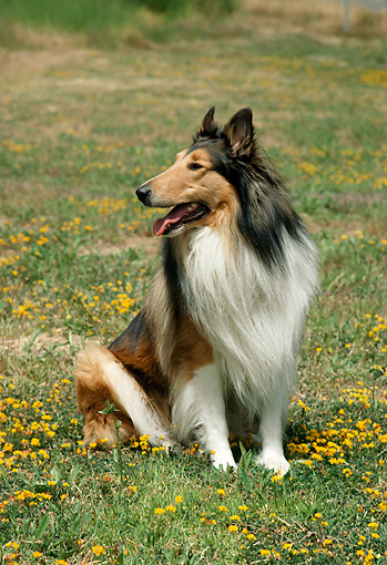 DOG 01 RC0006 01 © Kimball Stock Collie Sitting In Field Of Yellow Flowers