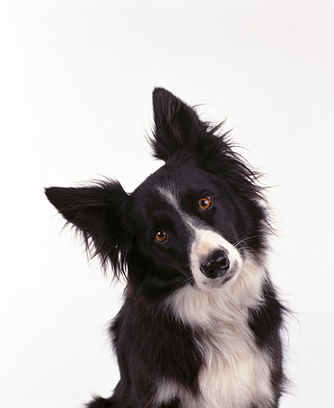 DOG 01 RK0006 25 © Kimball Stock Shoulder Shot Of Black And White Border Collie Facing Camera On White Seamless