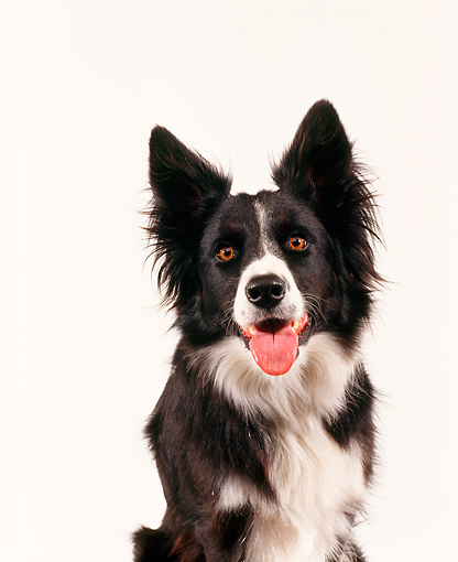 DOG 01 RK0007 12 © Kimball Stock Head Shot Of Border Collie  Seamless Studio