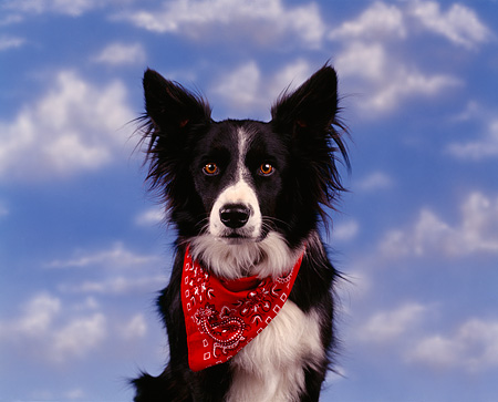 DOG 01 RK0010 08 © Kimball Stock Black And White Border Collie Facing Camera Wearing Red Scarf Around Neck Clouds