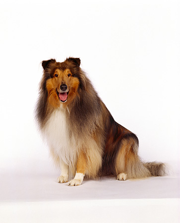 DOG 01 RK0061 03 © Kimball Stock Collie