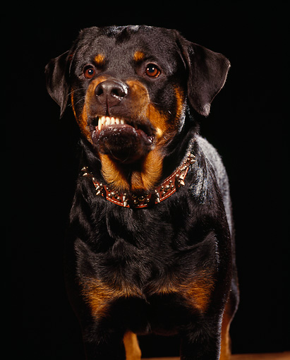 DOG 01 RK0074 01 © Kimball Stock Rottweiler With Collar Head Shot Facing Camera Studio Background