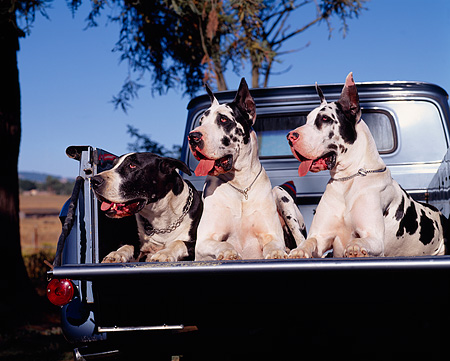 DOG 01 RK0083 02 © Kimball Stock Harlequin Great Danes Laying Together In Back Of Truck