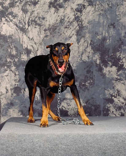 DOG 01 RK0087 11 © Kimball Stock Doberman Pinscher Standing Growling Studio