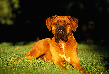 DOG 01 RK0126 08 © Kimball Stock Mixed Breed Brown Boxer Laying On Grass At Dusk