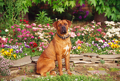 DOG 01 RK0131 06 © Kimball Stock Mixed Breed Boxer Sitting By Flower Garden