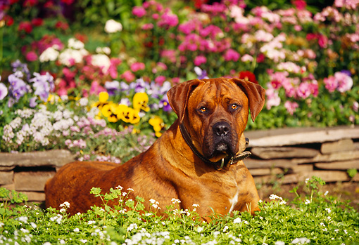 DOG 01 RK0133 03 © Kimball Stock Mixed Breed Boxer Laying By Flower Garden