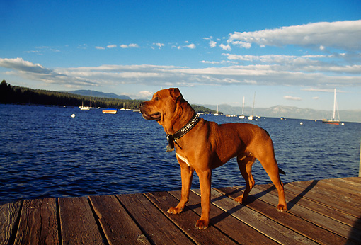 DOG 01 RK0139 05 © Kimball Stock American Pit Bull Terrier Standing On Dock By Water
