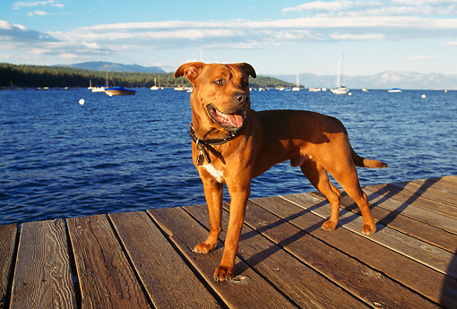 DOG 01 RK0139 15 © Kimball Stock American Pit Bull Terrier Standing On Dock By Water