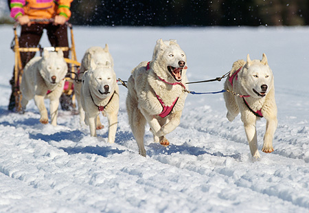 DOG 01 RK0148 54 © Kimball Stock Siberian Huskies Running On Snow Pulling Sled
